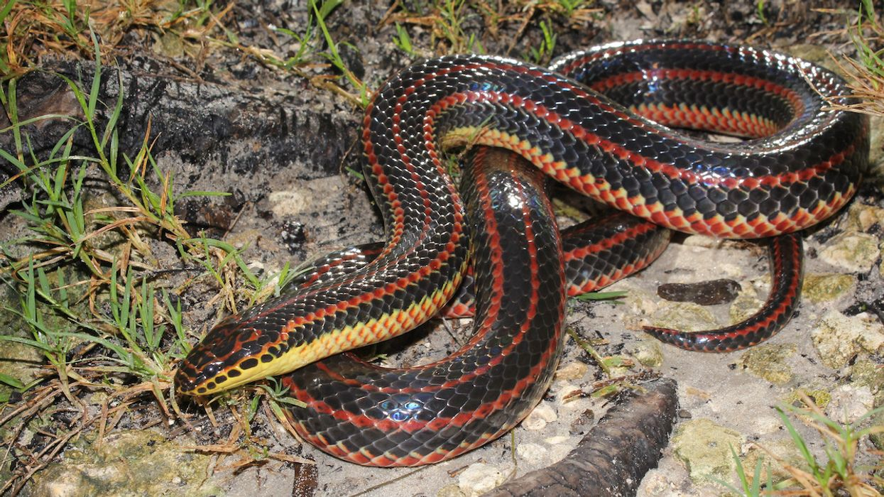 Rainbow Snake Spotted in a Florida County for the First Time Since 1969