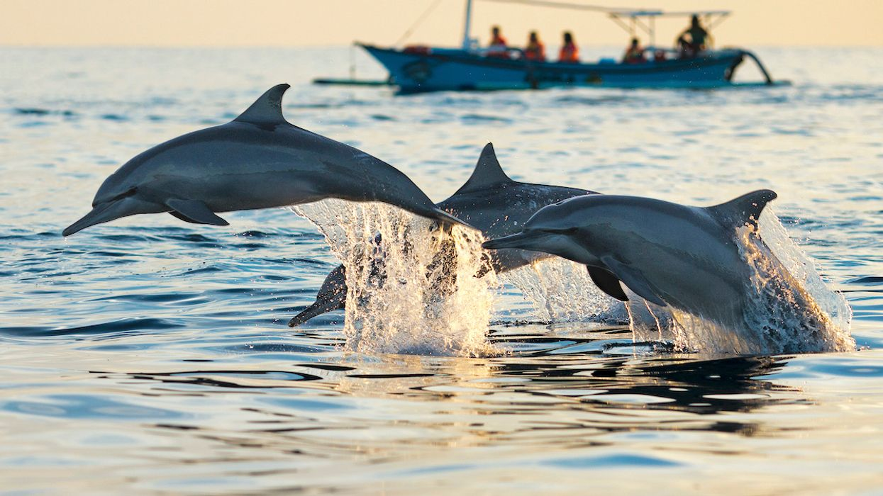 Indian Ocean Dolphin Population Plummets Due to Commercial Fishing