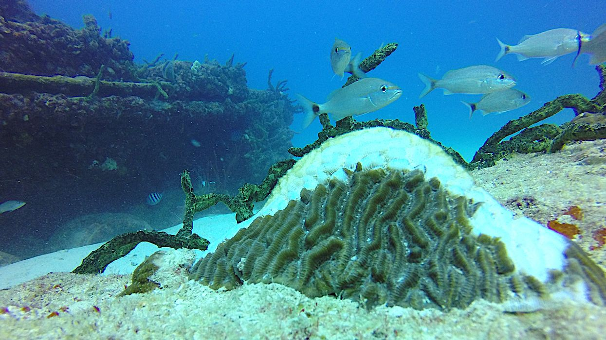Stony Corals Seem to Be Preparing for a Mass Extinction, Scientists Report