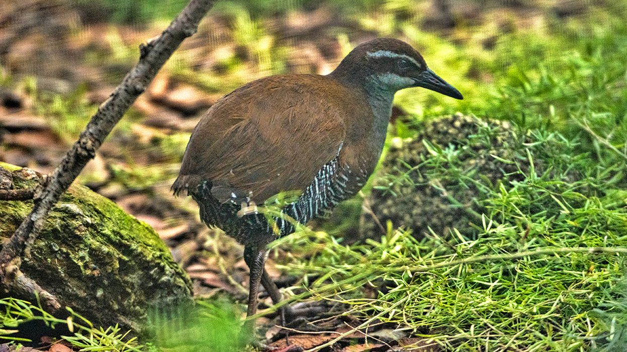 Guam Rails Are No Longer Extinct in the Wild (Something Only One Other Bird Can Claim)