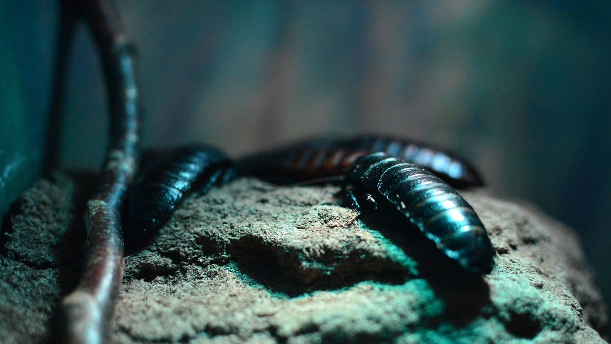 New dinosaur-age cockroaches discovered
