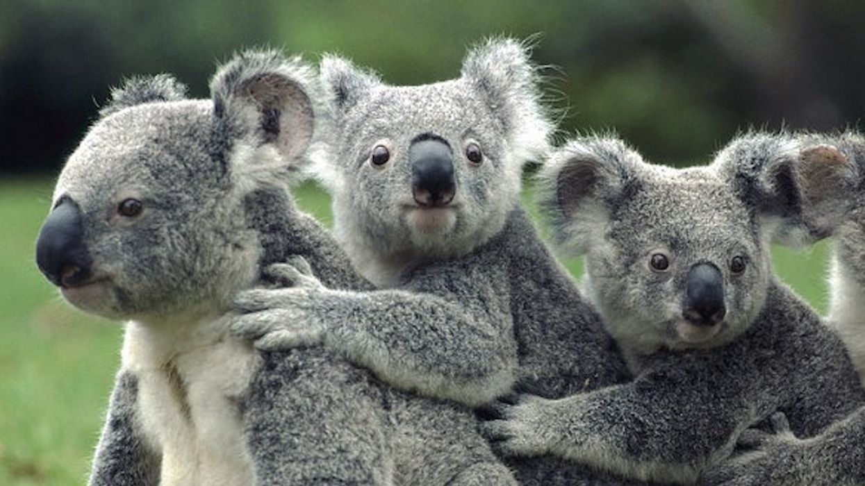 Koalas Face Extinction Threat After Wildfires: New Report