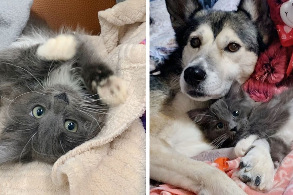 Kitten Born with Twisted Legs Cuddles Rescued Dog and Won't Stop Purring