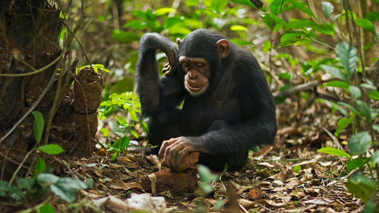 The UN Looks to Protect Chimpanzee Culture