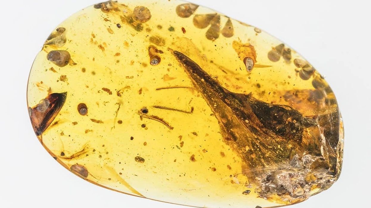 Skull of Smallest Known Dinosaur Found in 99-Million-Year Old Amber