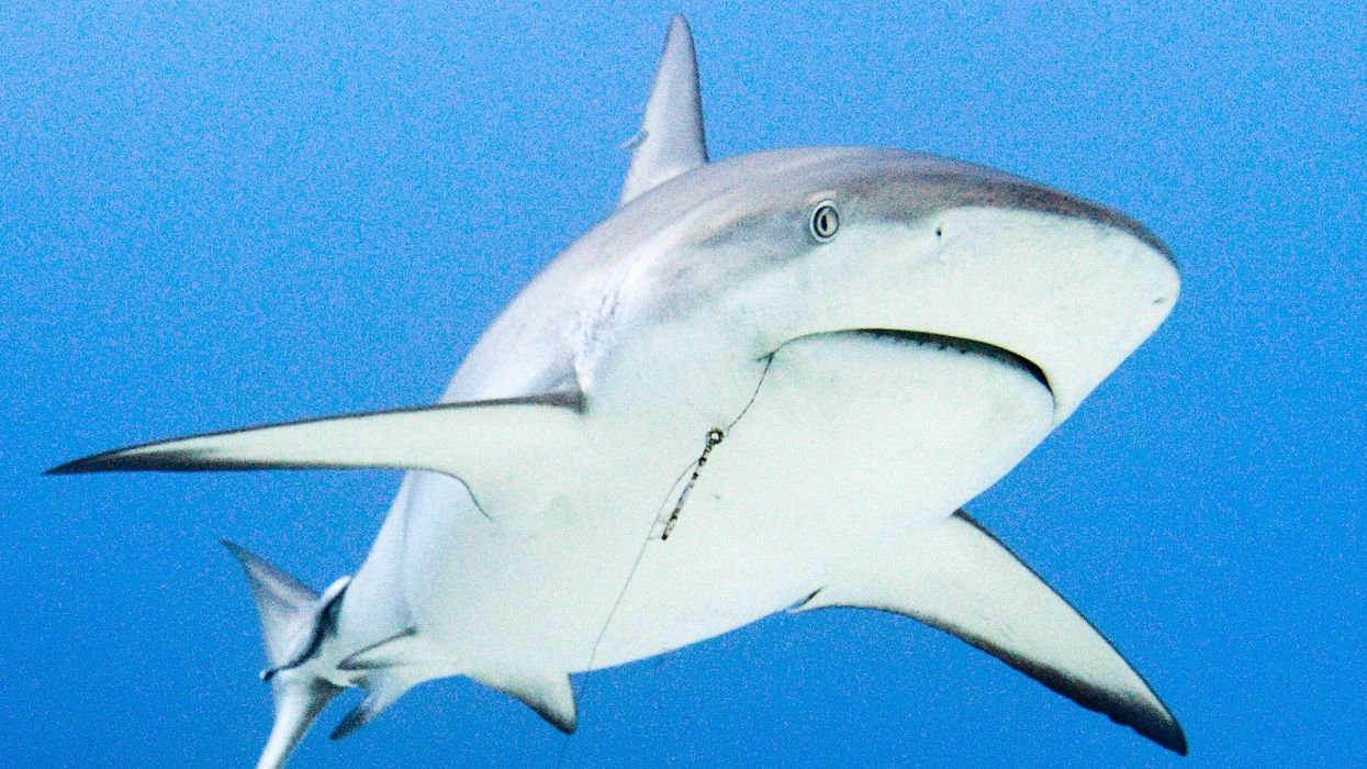 Following House Approval, U.S. Has a Chance to Ban the Cruel Shark Fin Trade