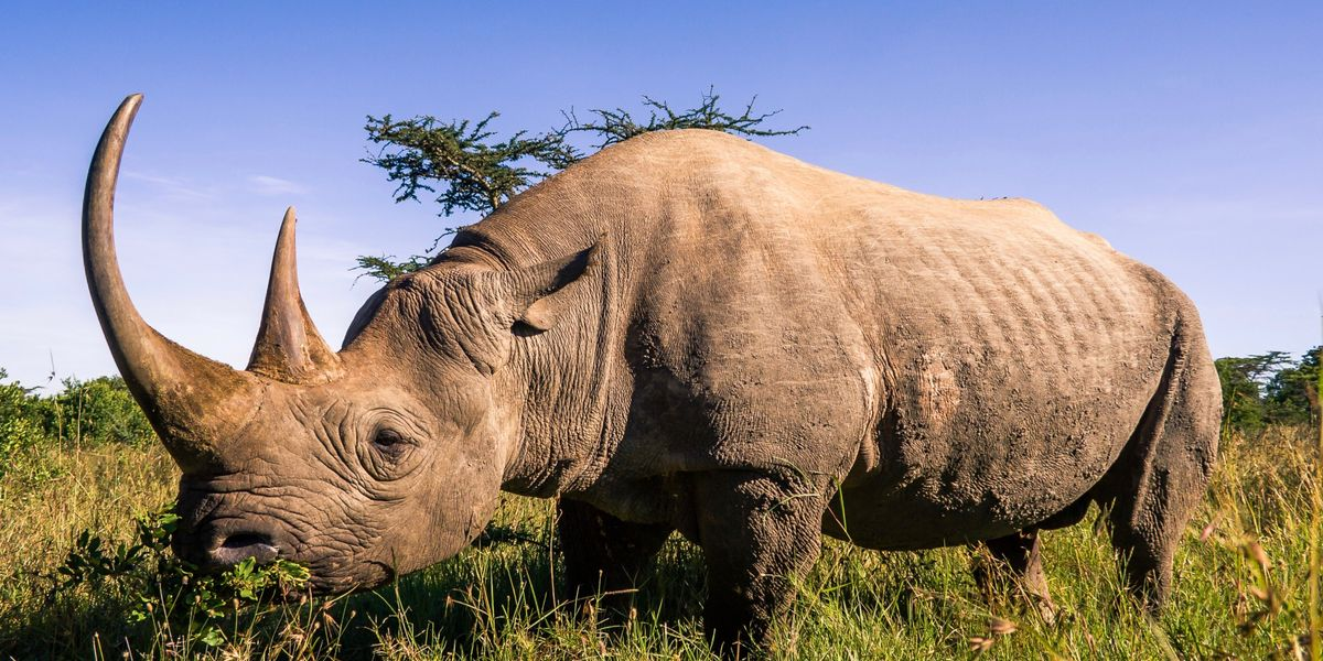Brookfield Zoo Donates Black Rhino Horn to Feds for