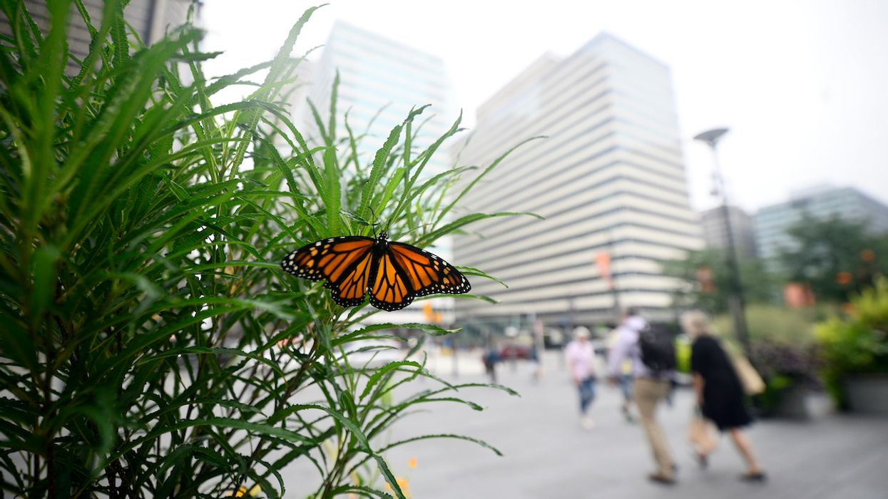 Monarch Butterfly Populations Are Plummeting
