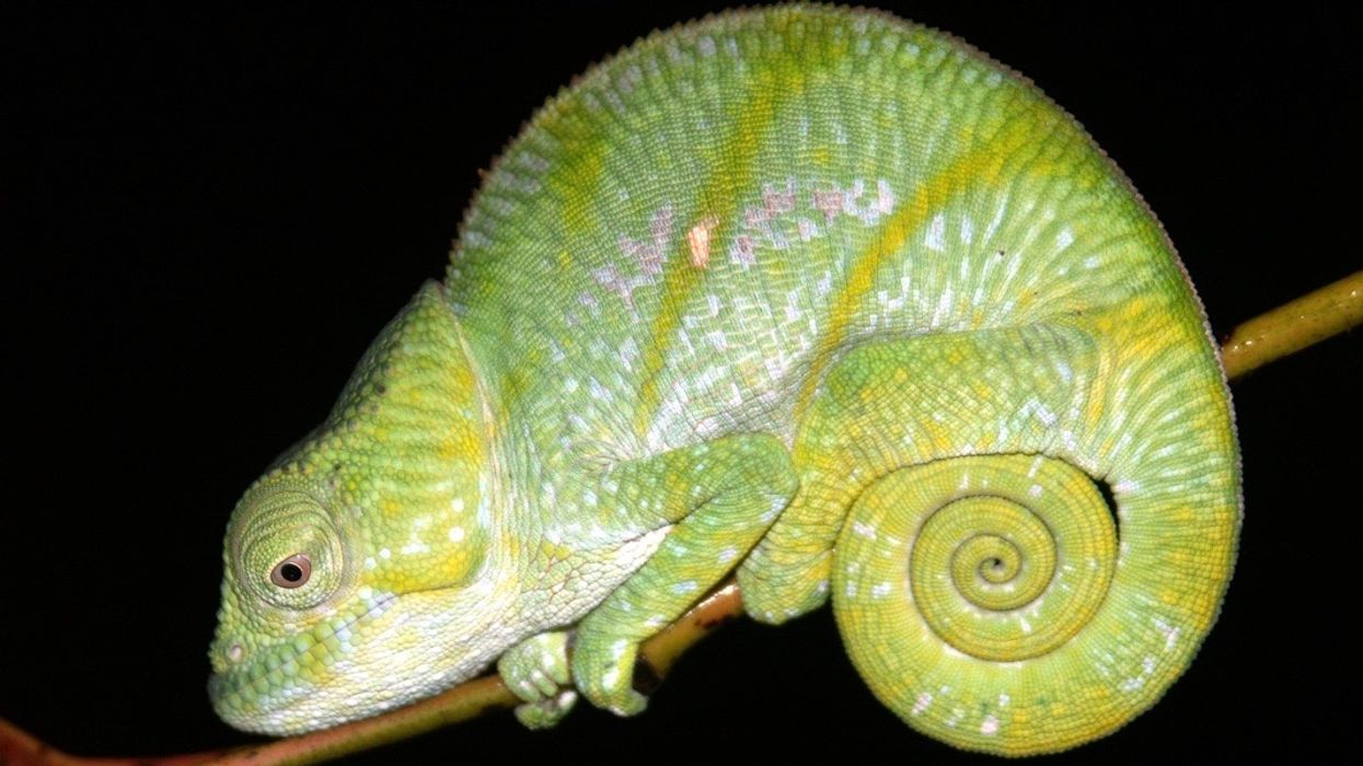 3 New Species of Chameleons Emerge From Centuries-Old Entanglement