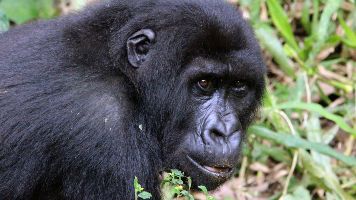 COVID-19 Could Threaten Already Vulnerable Great Apes