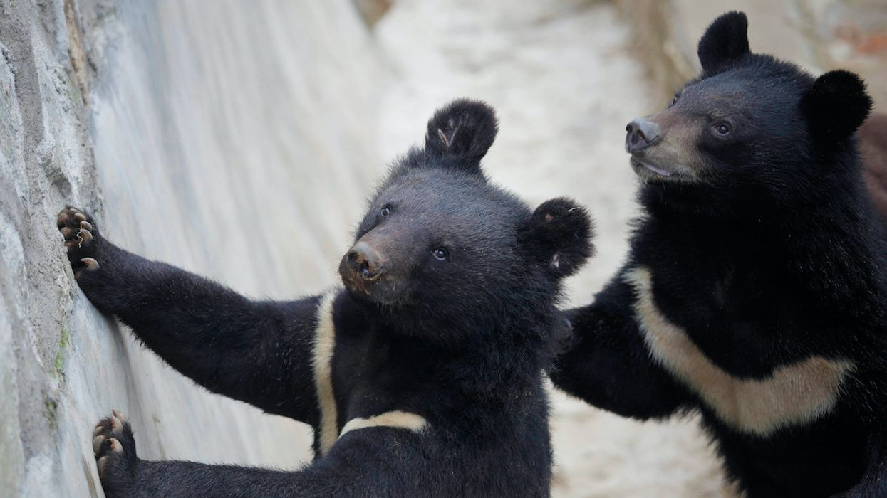 China Recommends Bear Bile to Treat COVID-19, Worrying Wildlife Advocates