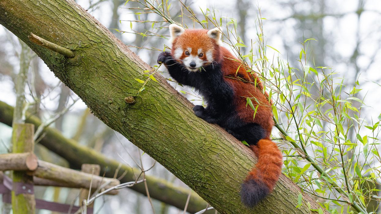 Red Pandas Are Actually Two Species, Study Finds