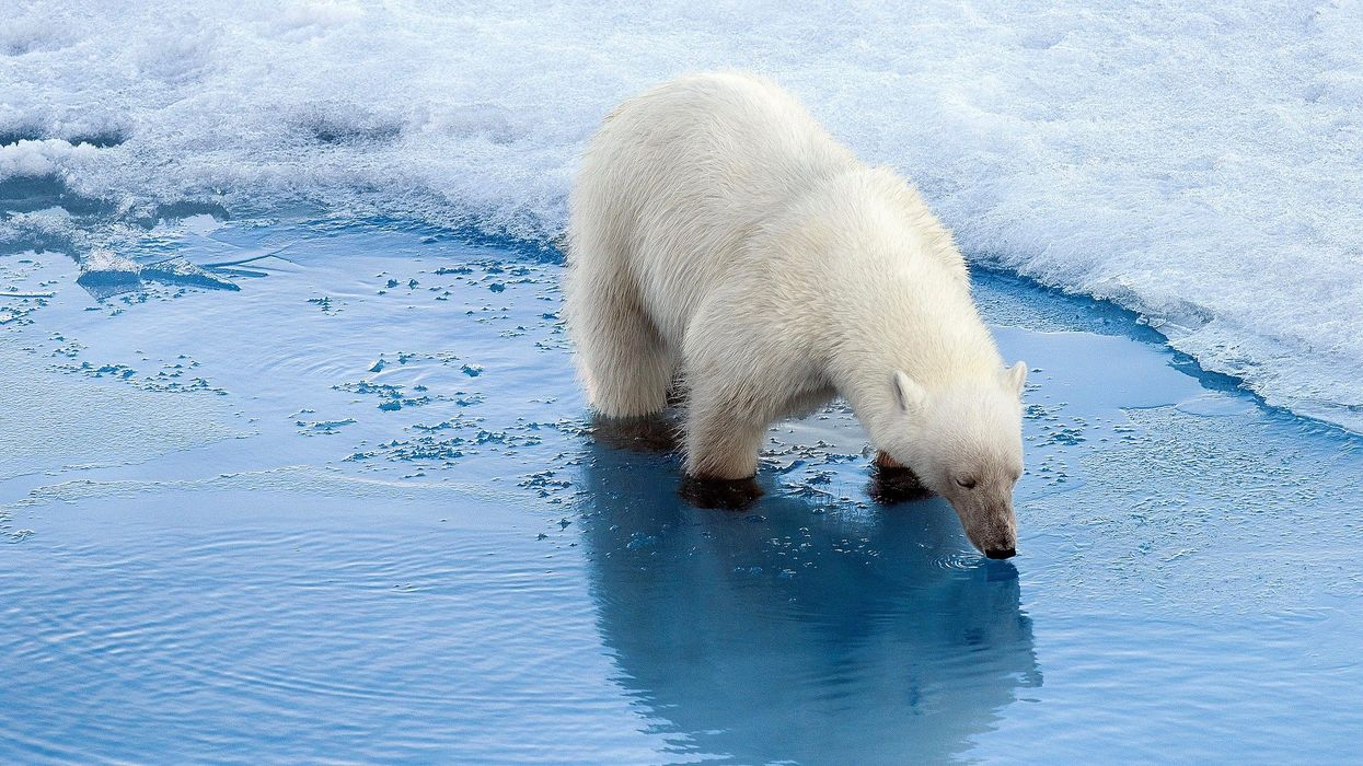 Polar Bears Are Increasingly Resorting to Cannibalism, Scientists Say