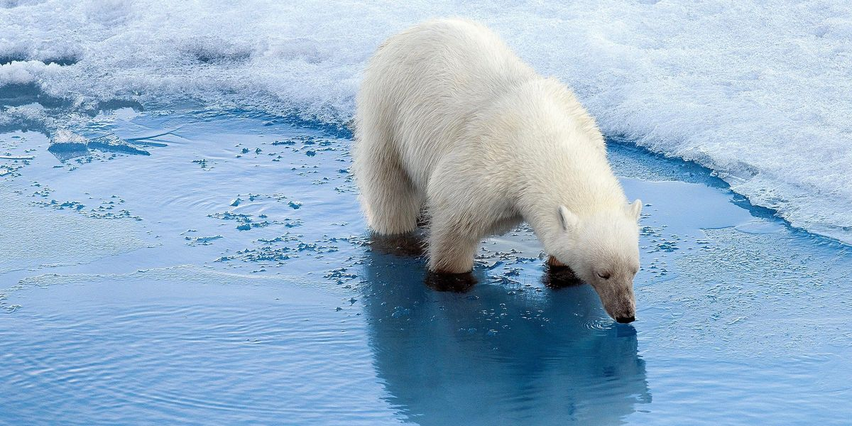 Polar Bears Are Increasingly Resorting to Cannibalism
