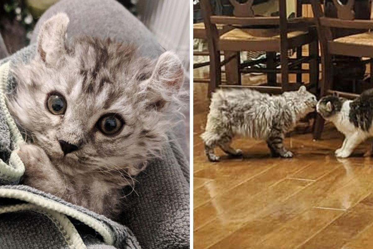 Woman Rescued Kitten Born Tailless and Went Back for His Sister Too