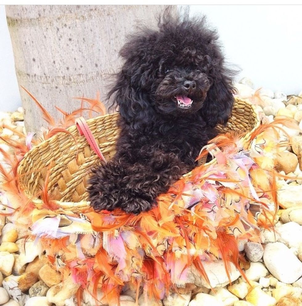Meet My Dog: Cleo, A Teacup Poodle Living It Up In Miami
