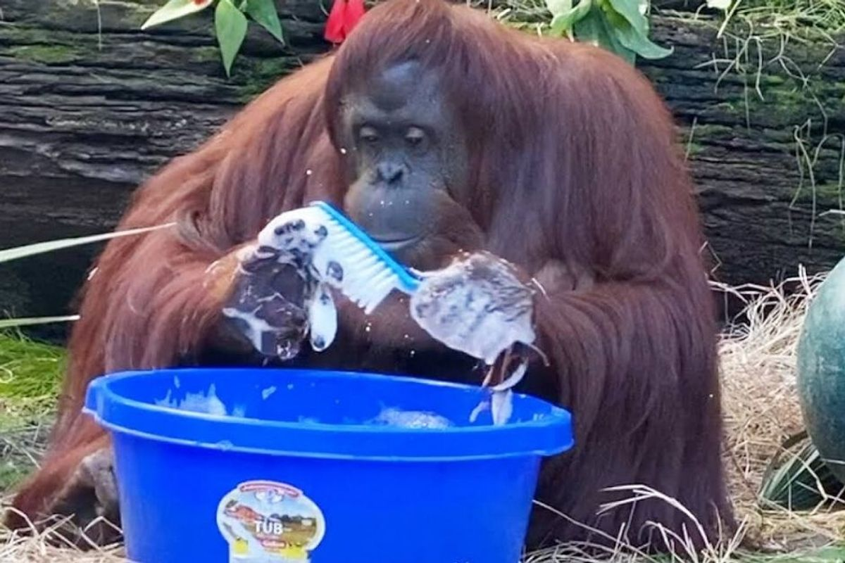 Sandra the orangutan has started washing her hands after observing her caretakers do it