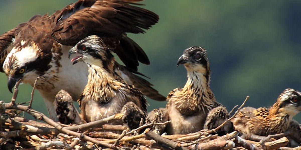 Winged Warnings: Osprey whisperers