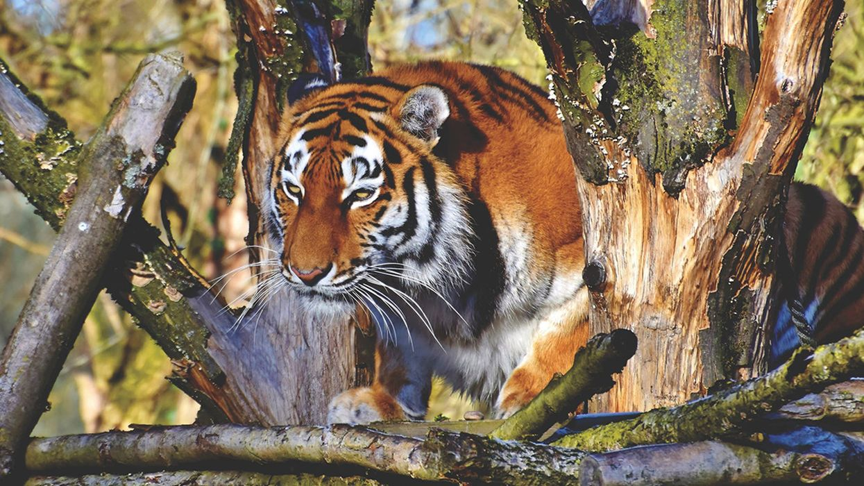 """A Conservationist's Guide to """"Tiger King"""": Keep Wildlife in the Wild"""