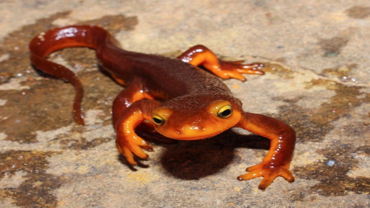 Will Climate Change Push These Amphibians to the Brink?