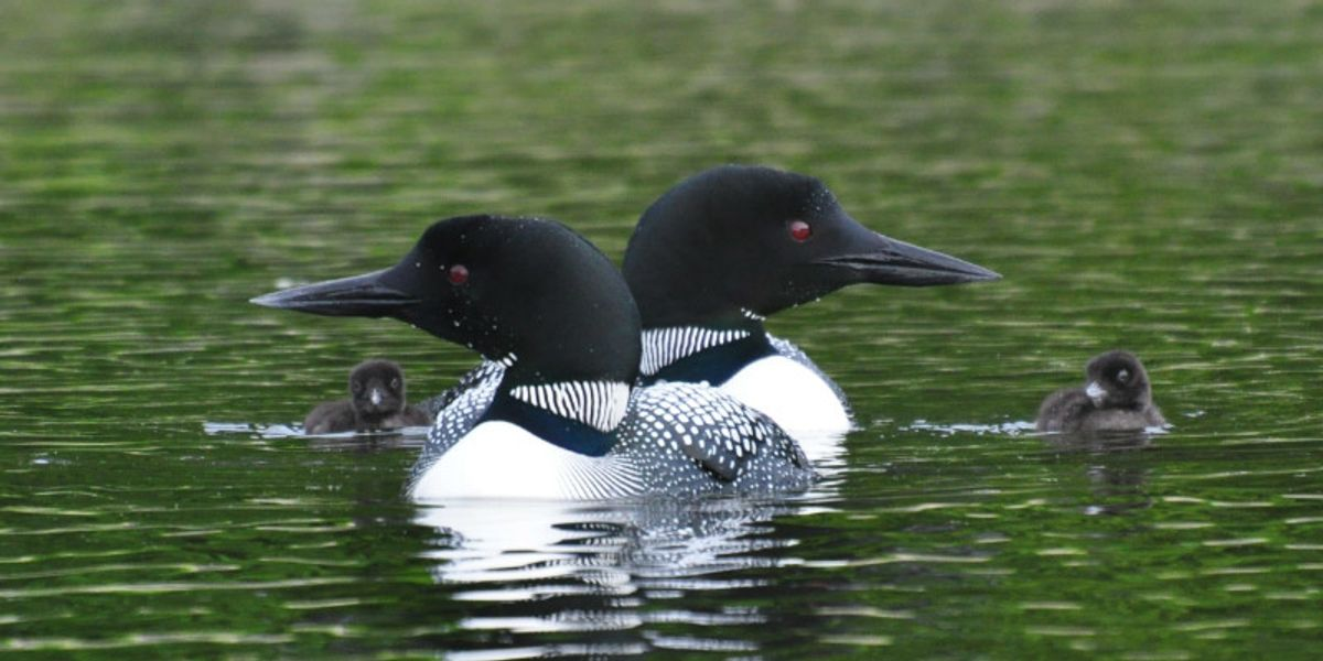 Winged Warnings: Loon, interrupted
