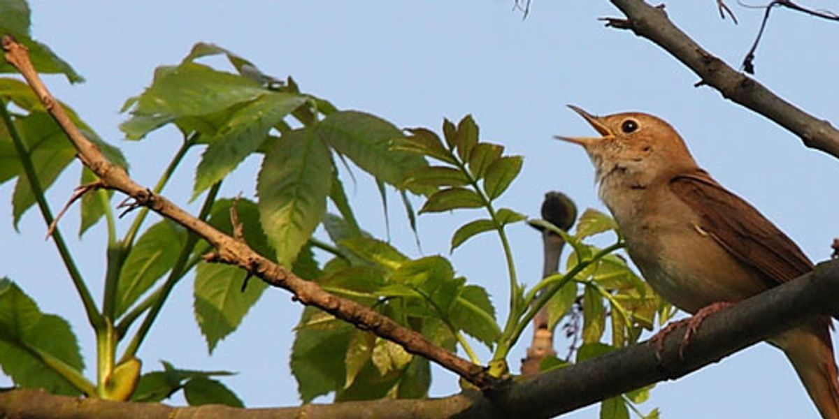 Opinion: We must hear – and heed – the nightingale's warning