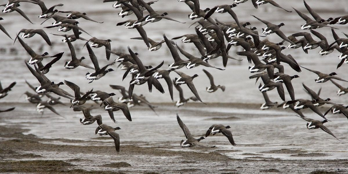 Good for the gander? As Alaska warms, a goose forgoes a 3,300mile migration