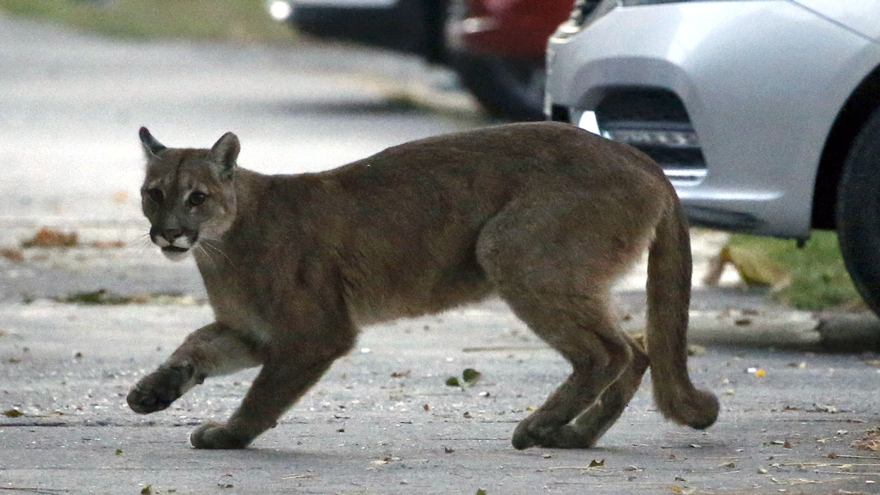 Multiple Cougars Seen Wandering the Streets of Santiago Amid Coronavirus Lockdown