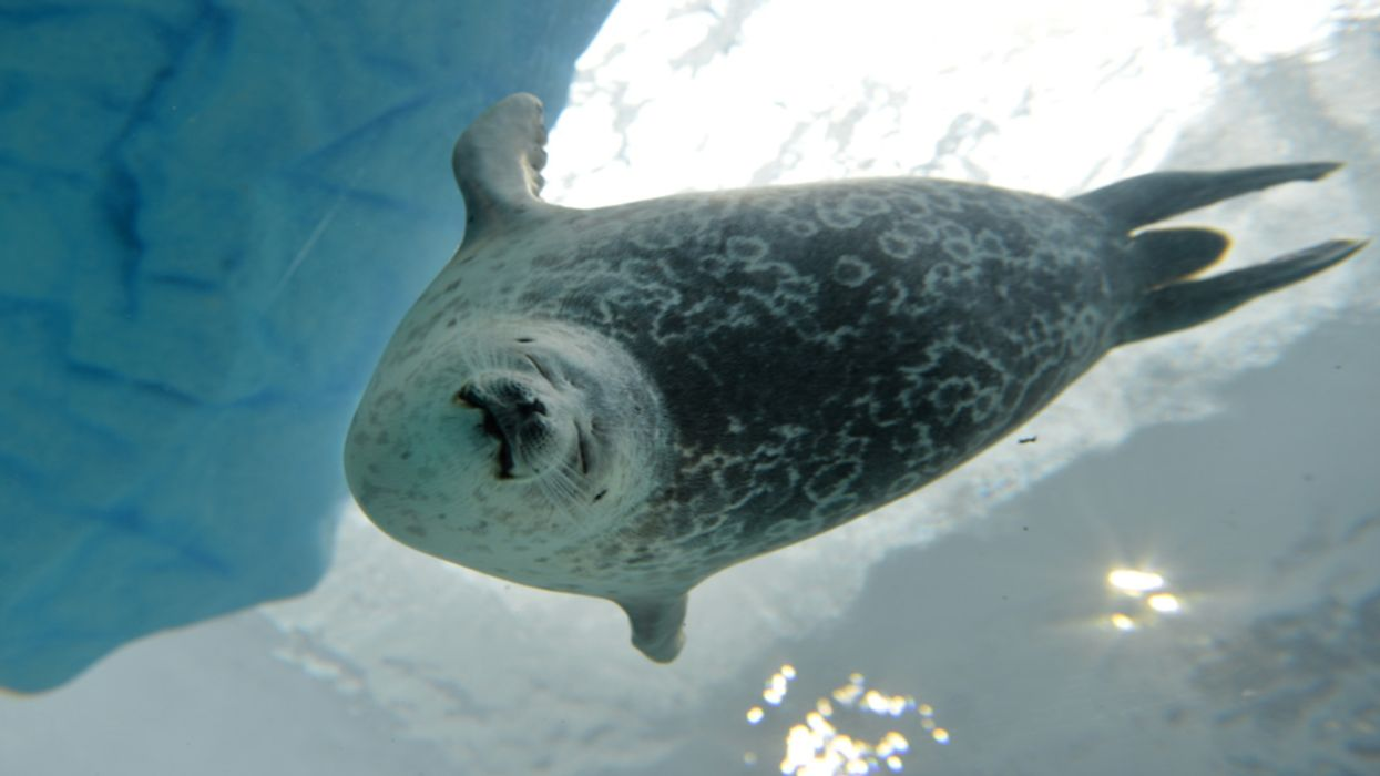 Arctic Warming Endangers Ringed Seals