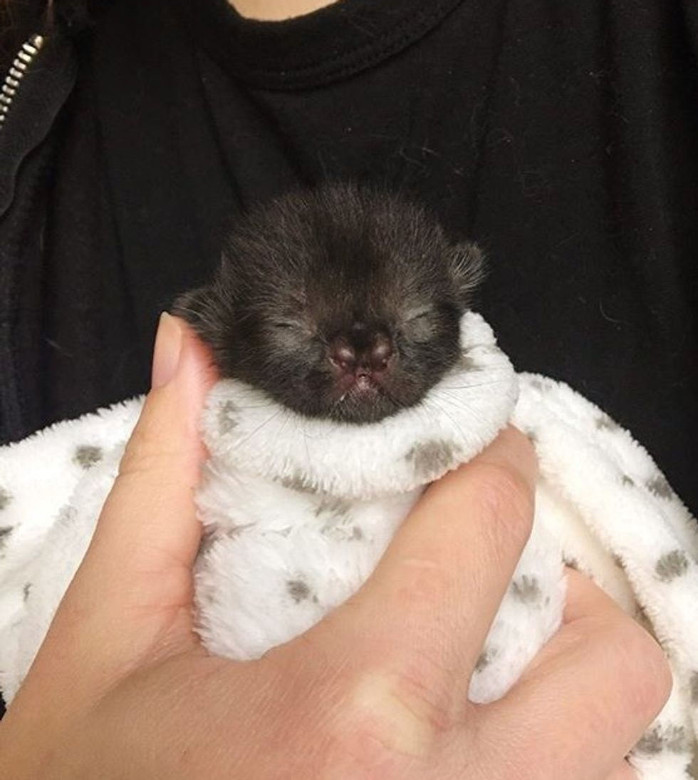 cute, kitten, cleft nose, purrito