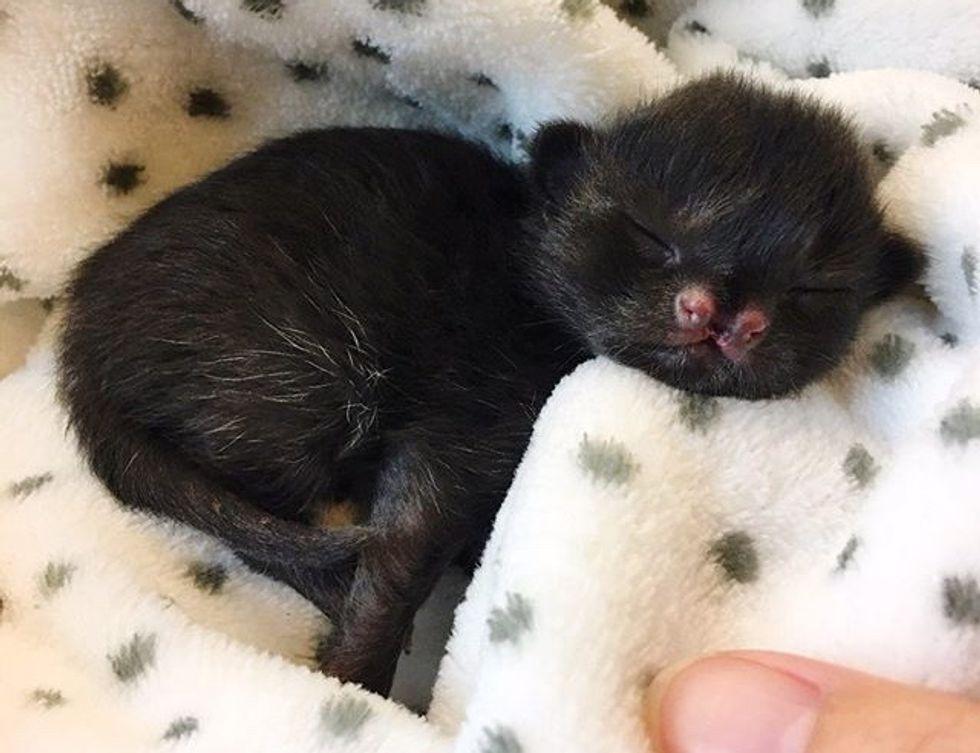 cute, kitten, cleft nose