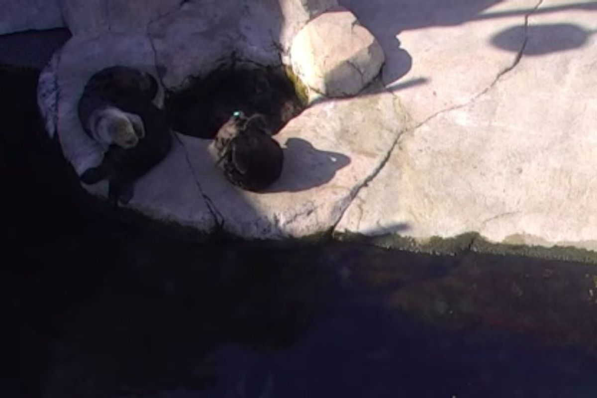 Monterey Bay Aquarium set up a live cam on their otters, so now this is what we're doing all day