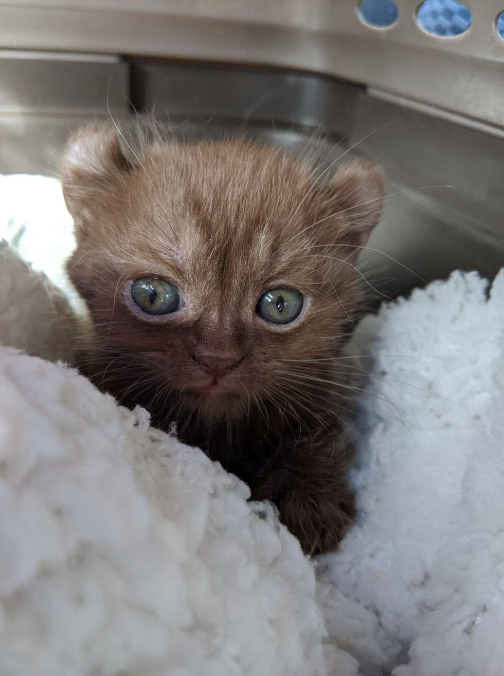 cute, kitten, bear cat