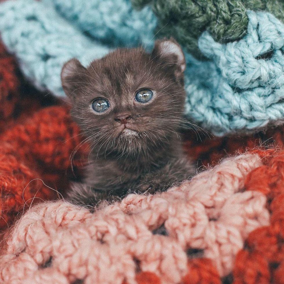 highland lynx kitten, cute