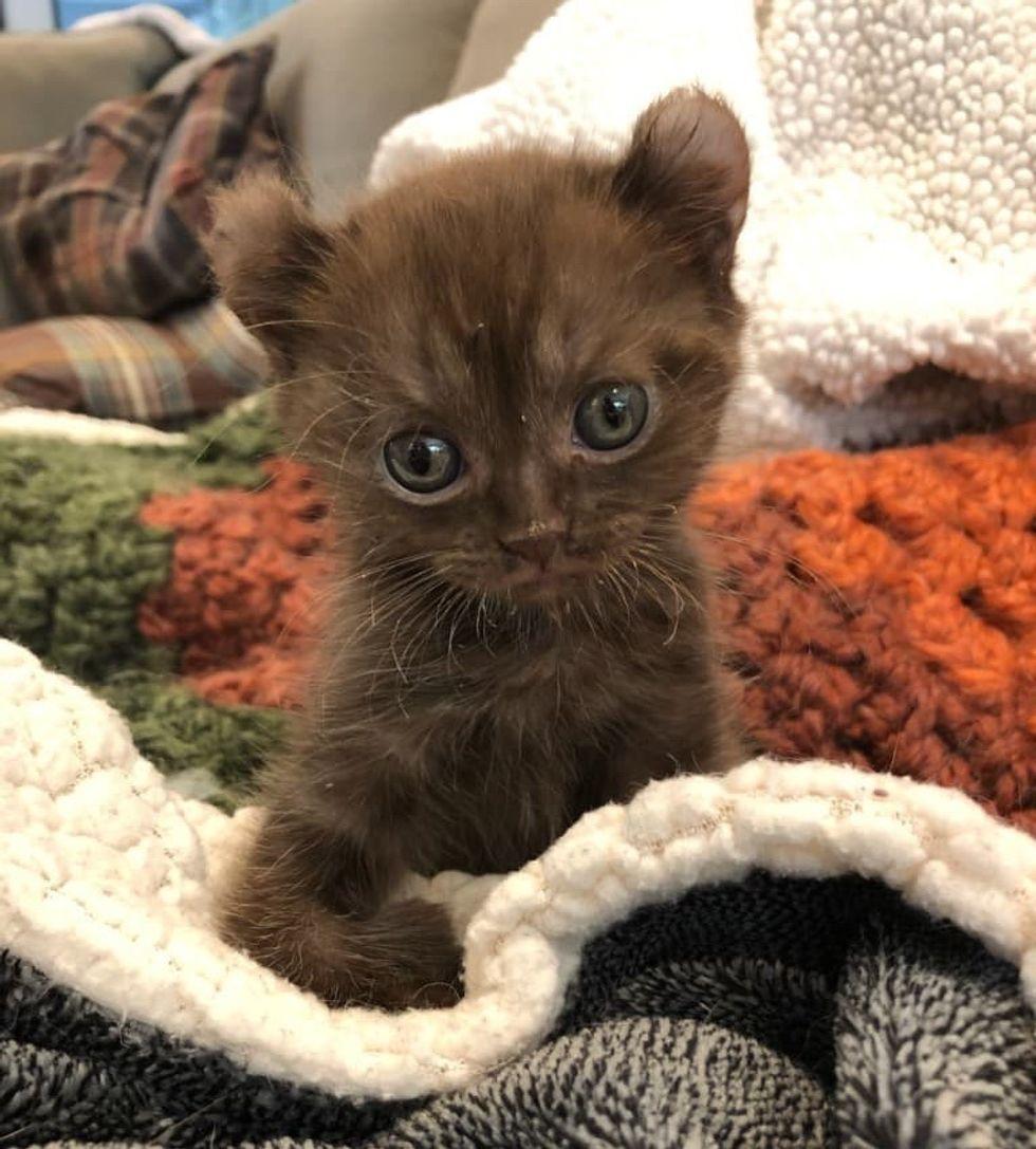 highland lynx kitten, twisted legs