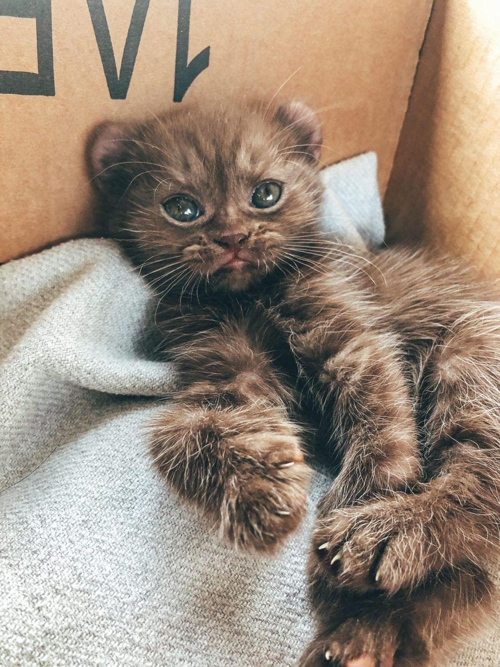 highland lynx kitten, bear cat