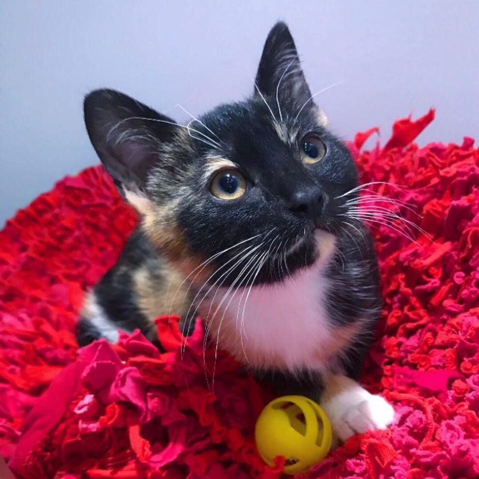 kitten, cute, calico