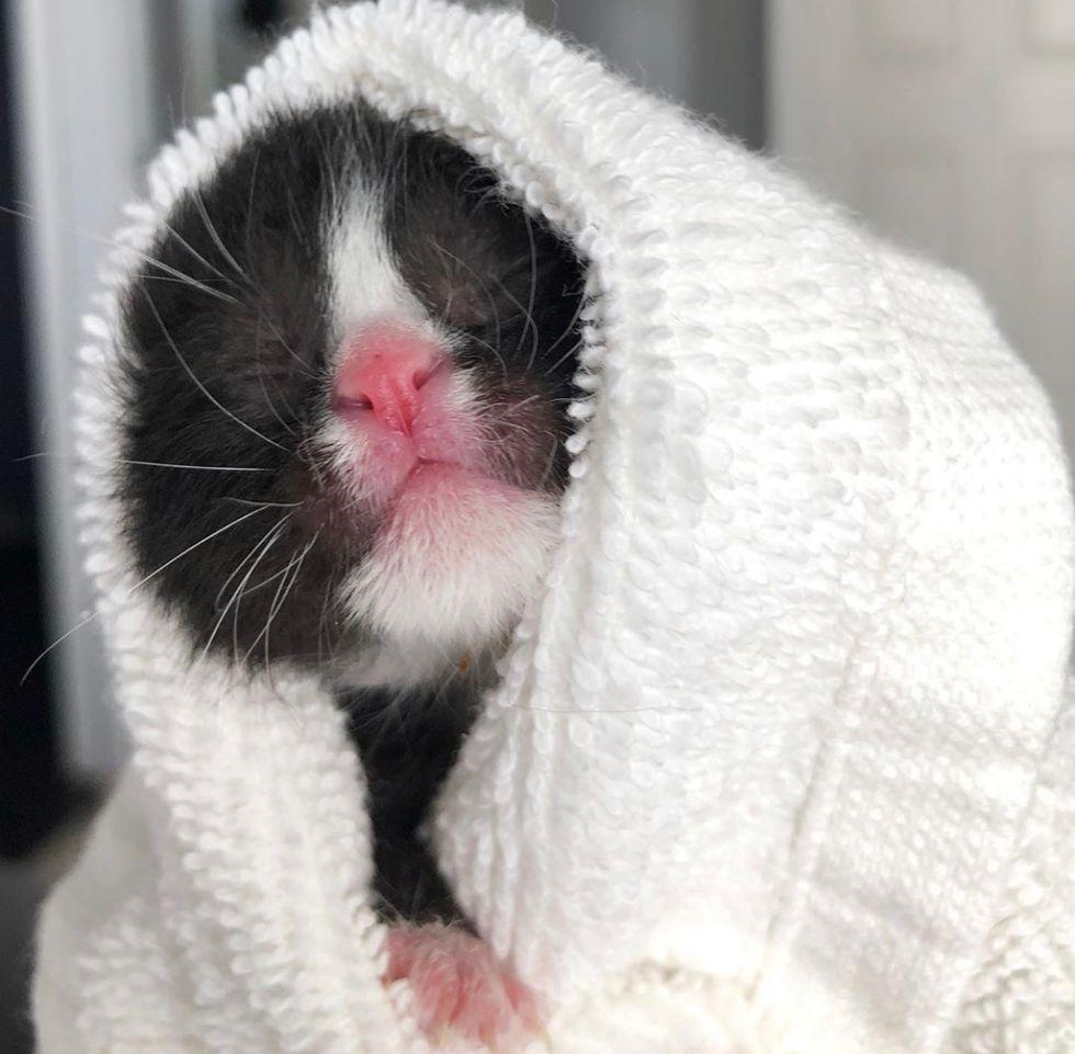 cute, baby, kitten, tuxedo, purrito