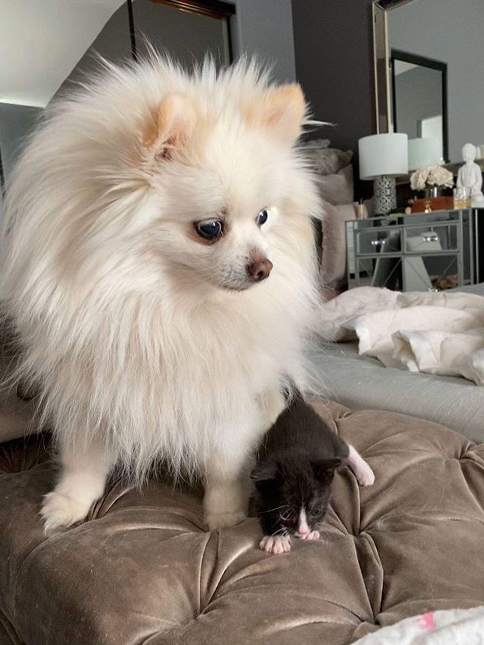 cute, kitten, tuxedo, dog, friend