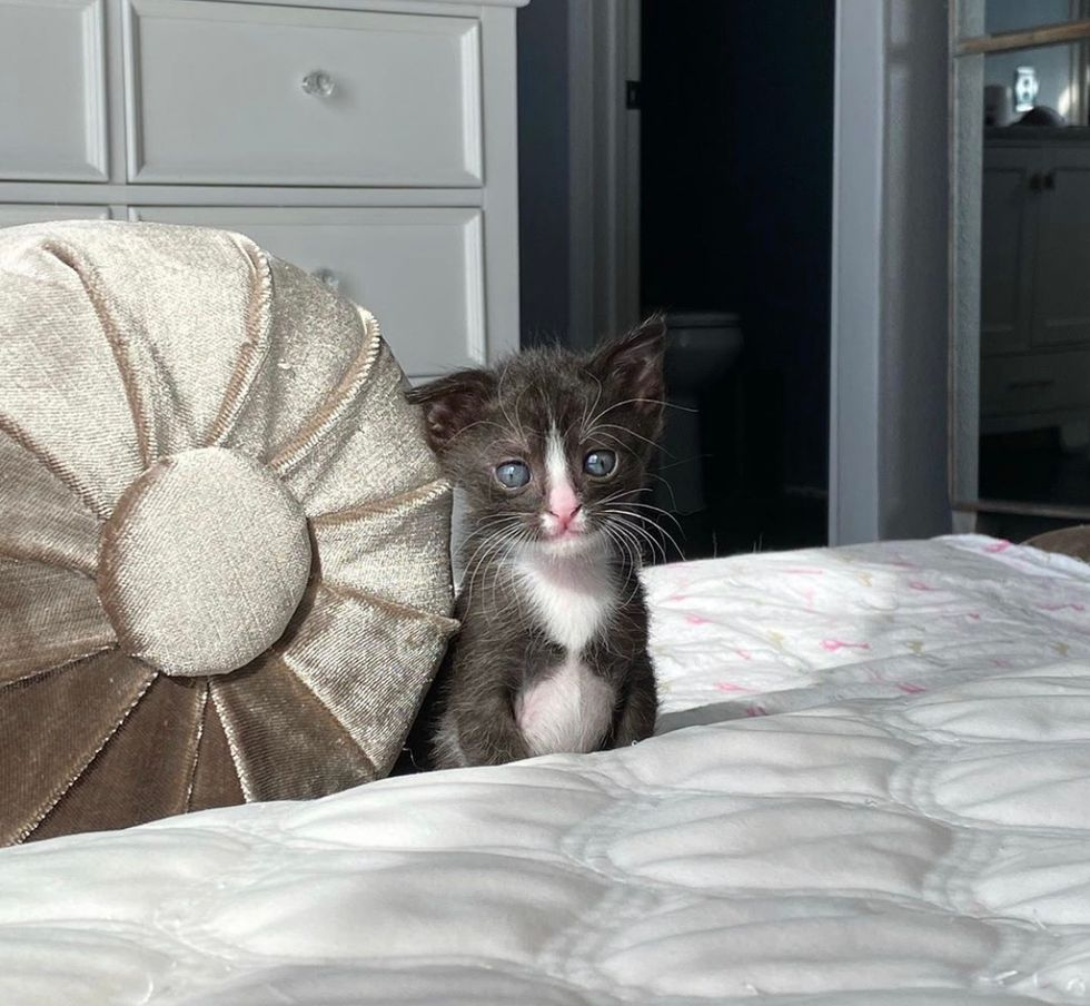 cute, kitten, tuxedo, floppy ear