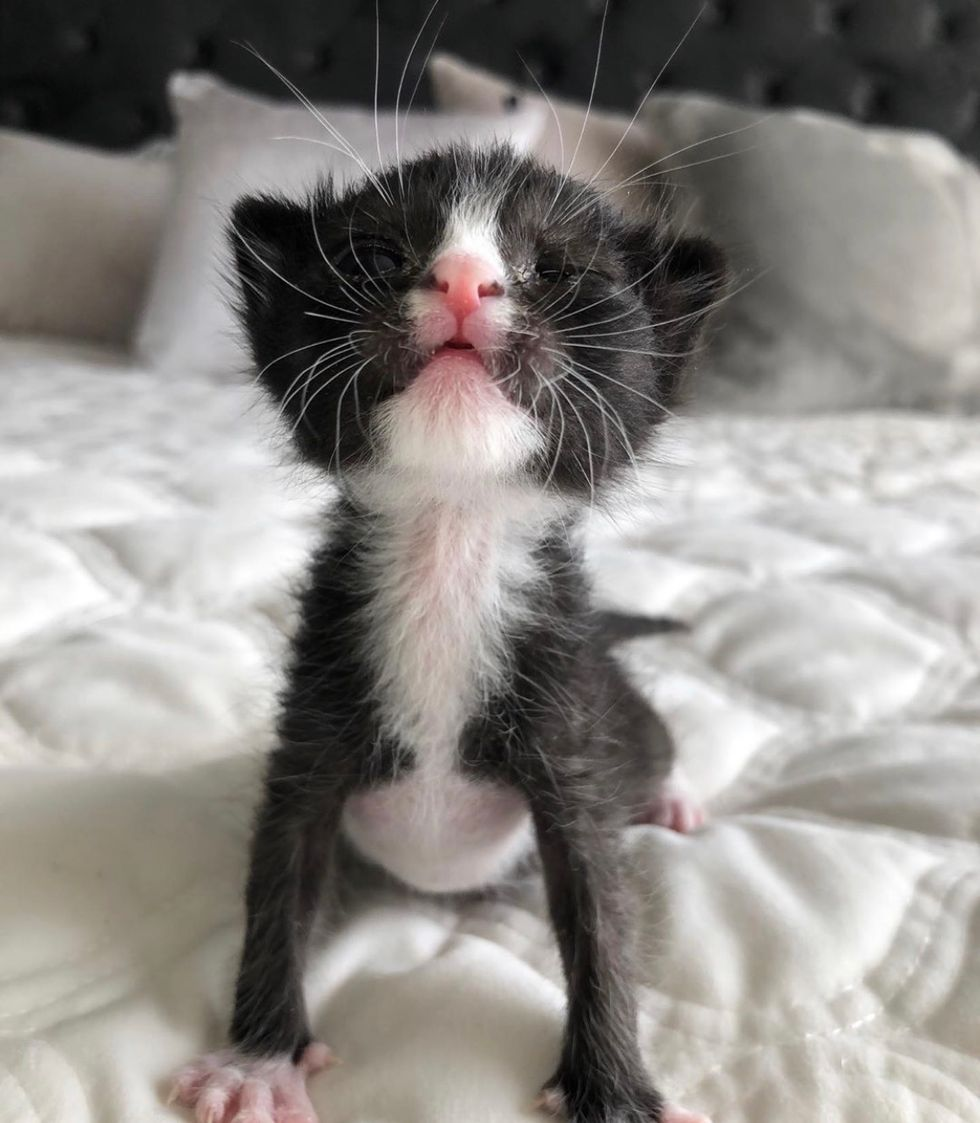 cute, baby, kitten, tuxedo, whiskers