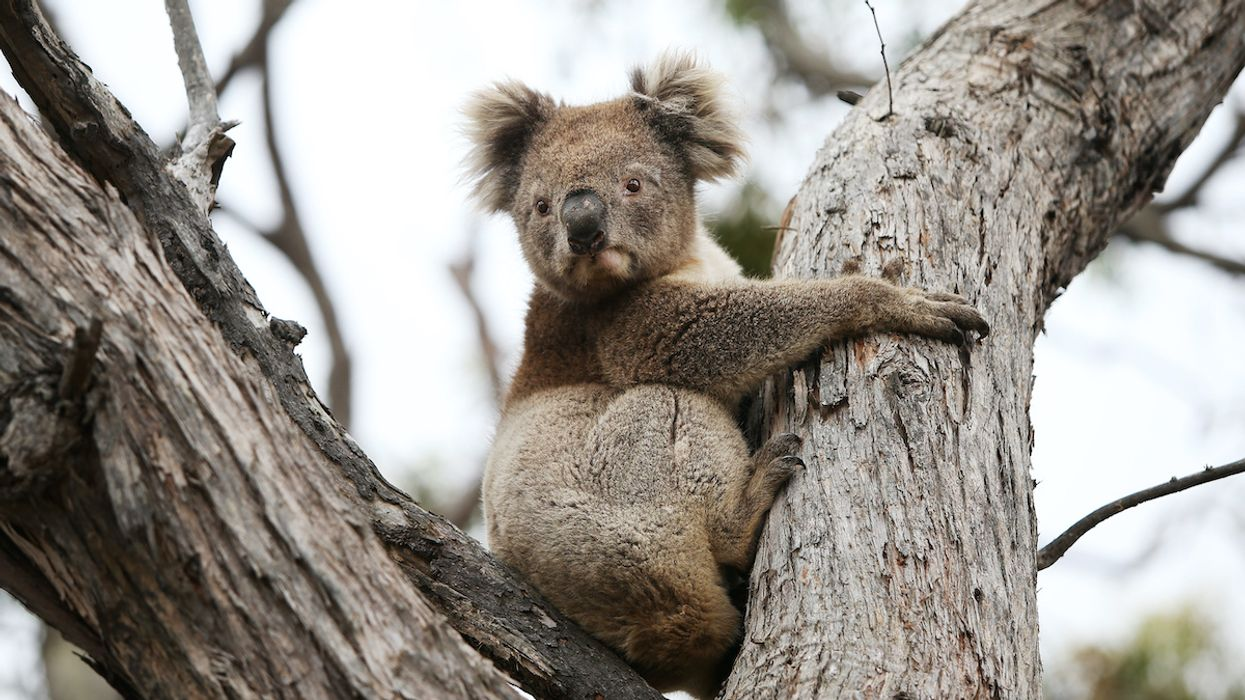 First Koalas Rescued From Bushfires Returned to the Wild