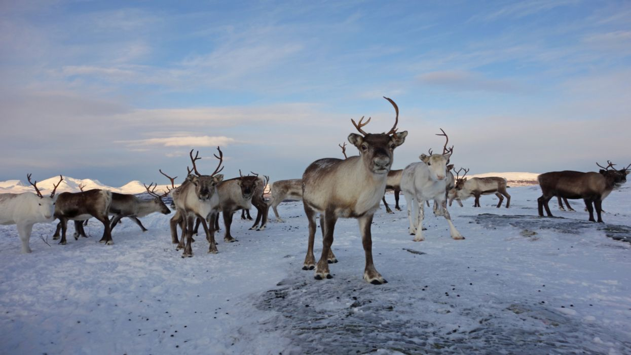 Releasing Herds of Animals Into the Arctic Could Help Fight Climate Change, Study Finds
