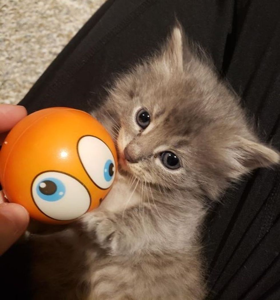 cute, kitten, foster, playful