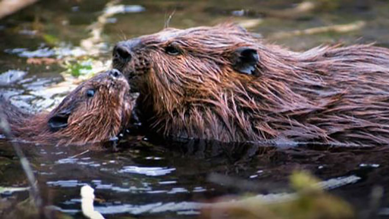 Beavers Could Help in Adapting to Climate Change