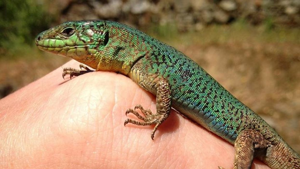 Lizards develop new chemical language to attract mates in predator-free environments