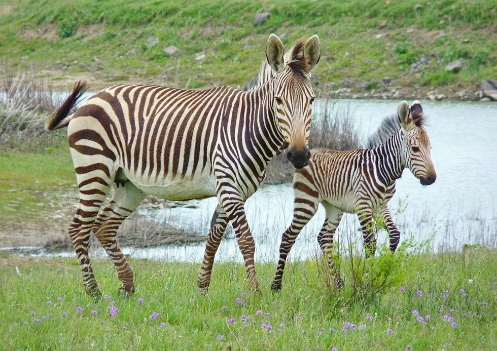 A mother and child zebra on a grassy area in front of a water source walking to the right, the mother is looking towards the camera