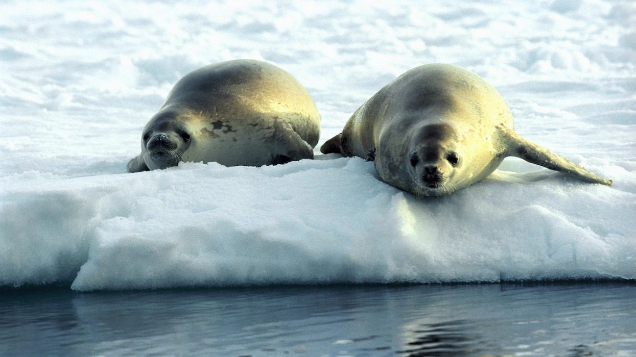 Seals Are Helping Scientists Map the Future of Antarctic Krill