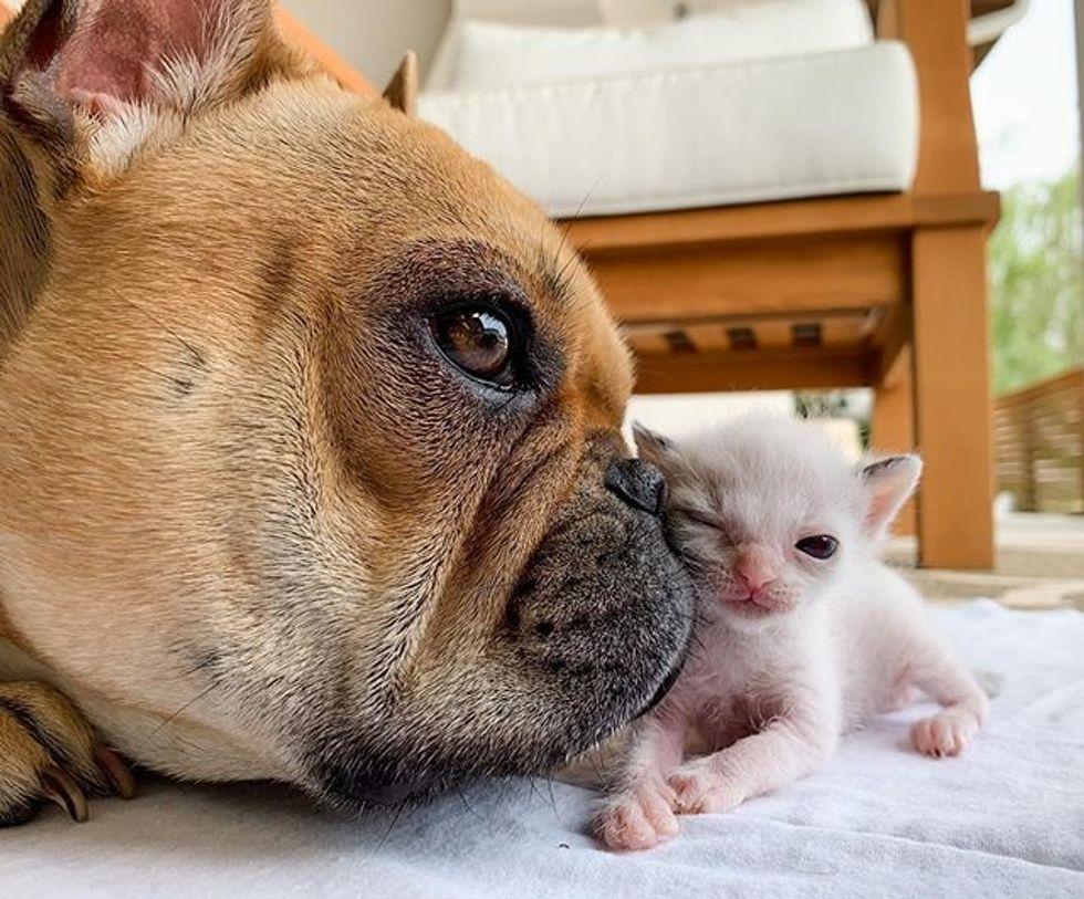 cute, kitten, tiny, small, dog, snuggle