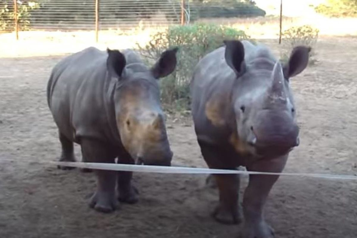 What type of noise does a baby rhino make? It's probably different than you think.